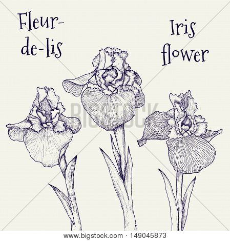 Iris fleur-de-lis hand-drawn flowers isolated on white vector illustration