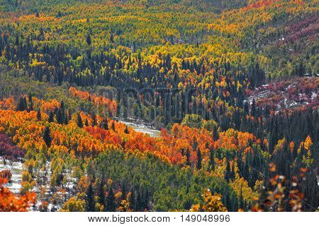 Canopy of autumn trees on Rocky mountains