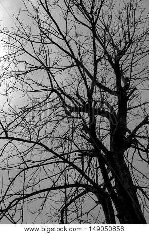 Silhouette of tree without leaf in black and white photo.