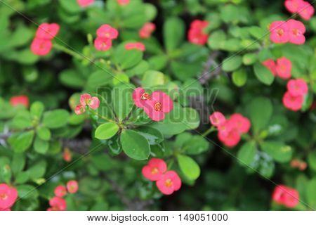 The Crown of thorns, Christ Thorn.Desert Rose (Desert Rose)