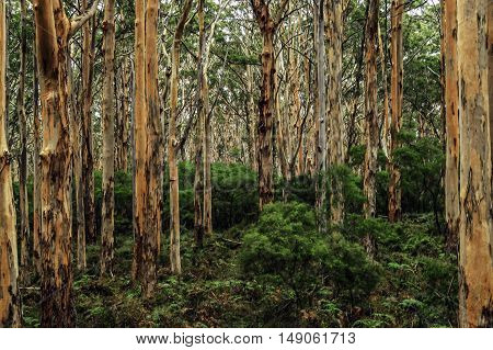 View inside forest of Australian gum trees