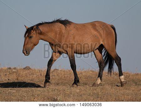 Wild Horse Dun Buckskin Stallion shining in the sun on Tillett Ridge above Teacup Bowl in the Pryor Mountains in Montana US