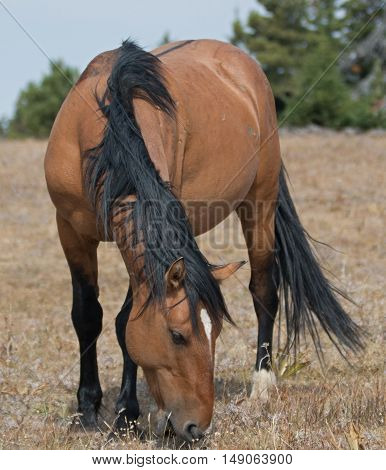 Wild Horse Dun Buckskin Stallion on Sykes Ridge in the Pryor Mountains in Montana - Wyoming US of A