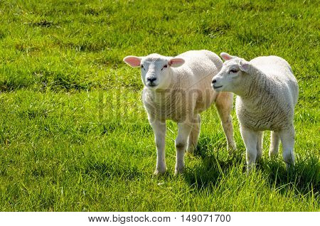 Two innocent looking little lambs standing in the fresh green grass. It is spring and life begins now.