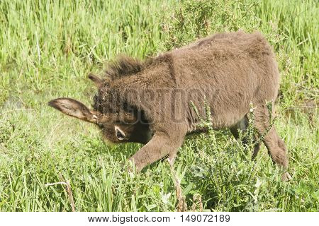 Brown baby donkey in green grass close-up portrait selective focus shallow DOF