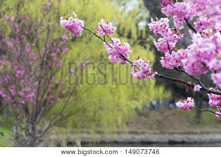 Beautiful cherry blossom sakura for background in Japan