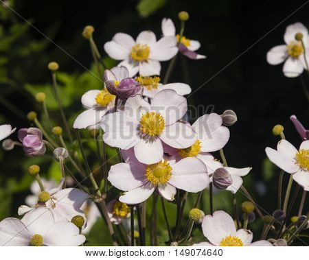 Japanese Anemone Anemone hupehensis flowers at flowerbed close-up selective focus shallow DOF