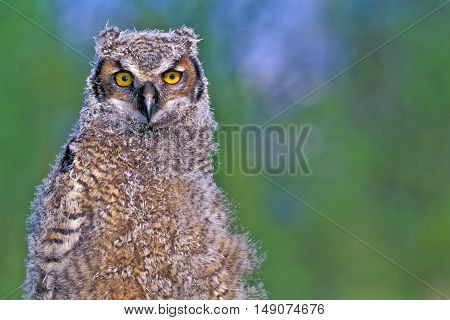 Young Great Horned Owl portrait close up