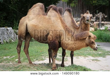 two Bactrian camels with brown hair in the zoo