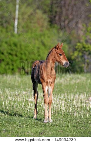 Chestnut Quarter horse Filly standing in meadow
