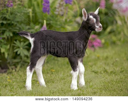 Domestic baby Goat few days old standing in grass by flowers