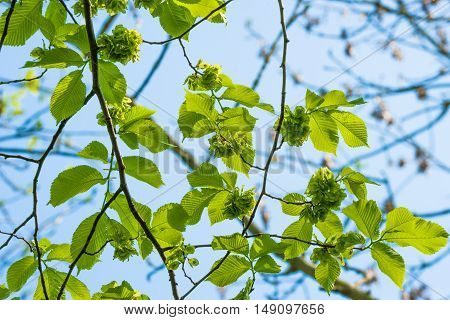 Green Leaves On A Elm Tree