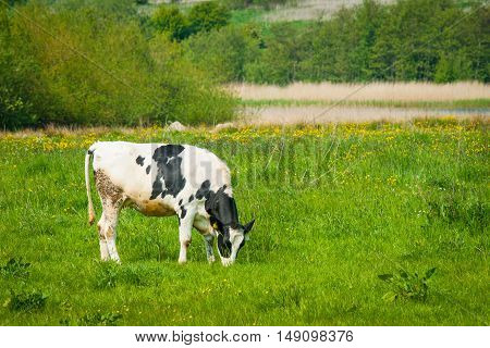 Grazing Cow On A Green Field