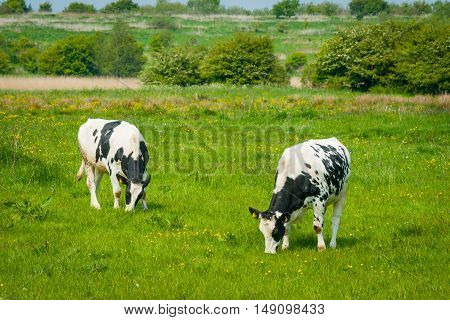 Black And White Cattle On A Green Meadow