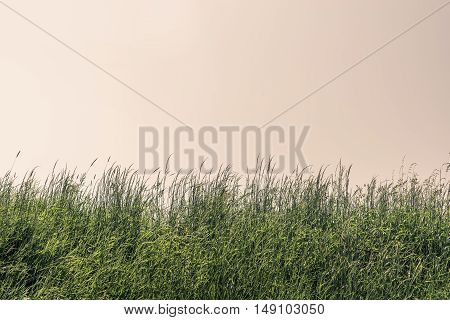Tall Grass On A Meadow