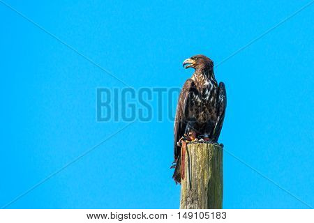 Haliaeetus Albicilla Eagle Looking For Prey