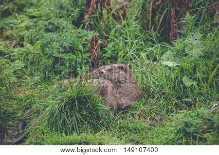 Otter In Green Grass