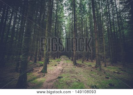 Dark Pine Forest With Tall Trees