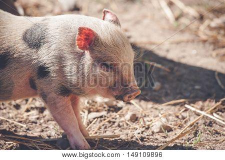 Cute Piglet In Rural Environment