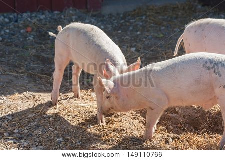 Pigs Playing Aroung In A Yard