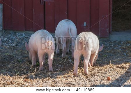 Tree Little Pigs With Curly Tails