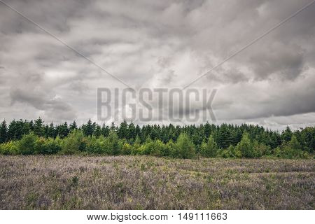 Green Pine Tree Forest On A Meadow
