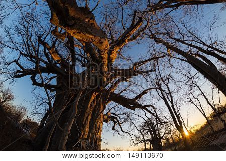 Huge Baobab plant in the african savannah with clear blue sky and sun star at sunset. Fisheye view from below. Botswana one of the most attractive travel destination in Africa.