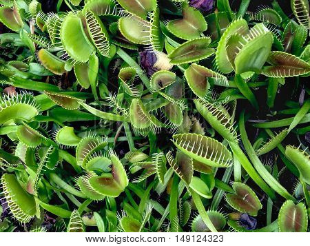 carnivorous venus fly trap plant eating bugs