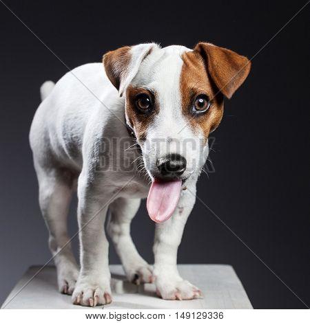 Dog showing tongue. Fun pet. Humor