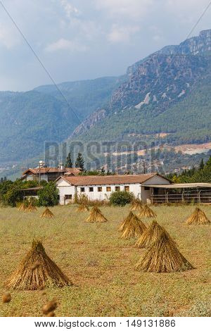 Field With The Drying Sesame
