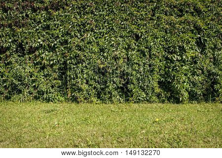 Green leaves hedge wall background on green grass field.