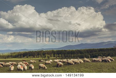 Flock of sheep grazing on a green meadow in Brasov county Transylvania region Romania.