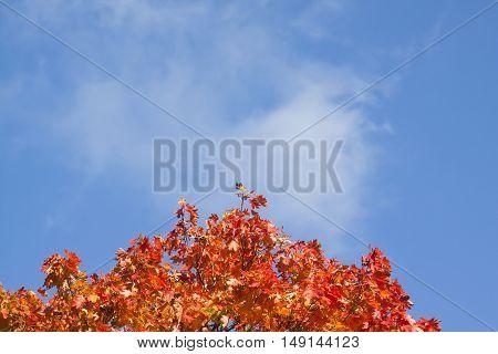 orange maple leaves against a blue sky