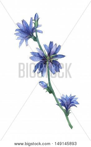 Blue chicory flowers. Common chicory (Cichorium intybus) is a bushy perennial herb. Watercolor hand painting illustration on isolate white background.