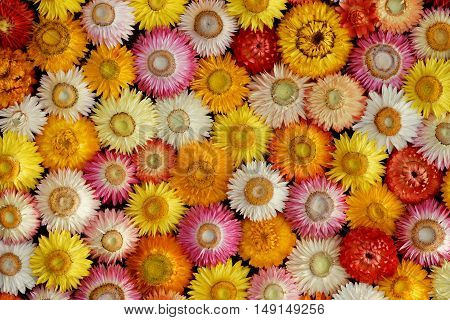 Colourful Mosaic of dried Straw Flowers ( Helichrysum bracteatum )