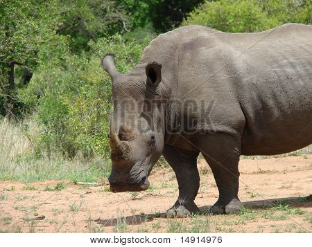 Face and front of rhino looking at you poster