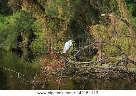 Great Egret (Ardea alba) is a species of bird wader of the family Ardeidae. Photo taken in the Everglades, Florida, USA.