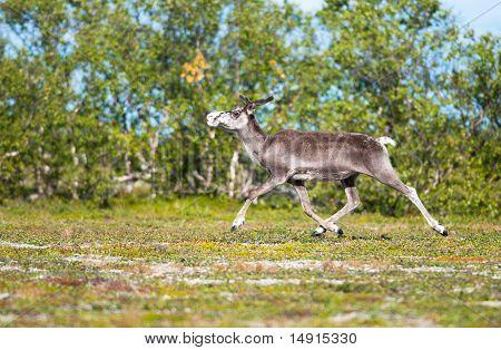 Reindeer running