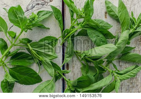 Basil background. Large green aromatic Mediterranean basil leaves on white wooden background with place for text. Bunch fresh basil on a wooden background. Aromatic spice.