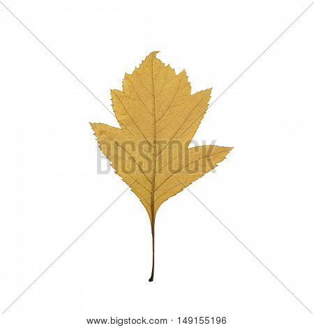 yellow autumn leaf isolated on white close-up