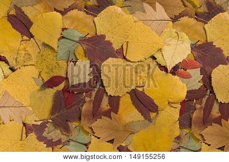 background with beautiful colorful autumn leaves close-up