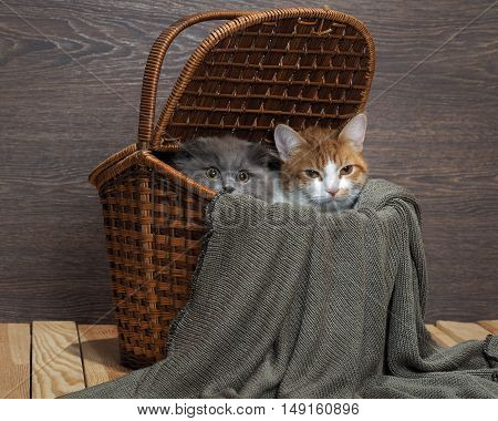 Funny cat look out from the big basket. Cat plain white with red. Purebred kitten gray and furry with big eyes
