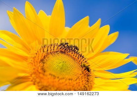 Honeybee pollinate on sunflower to obtain honey-comb.