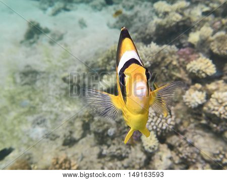 Fish-butterfly.marine Life In The Red Sea