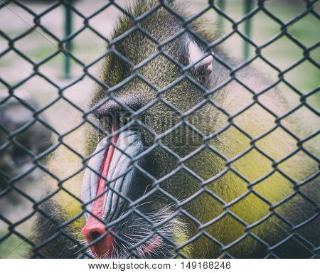 Mandrill Baboon monkey sad face behind a cage