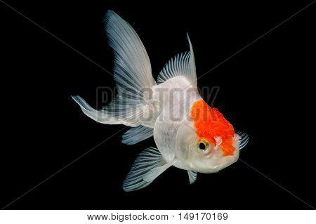 Red Cap Oranda Goldfish Isolated on black