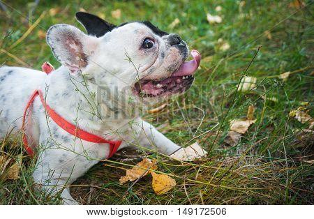 French bulldog black and white color. Autumn walk
