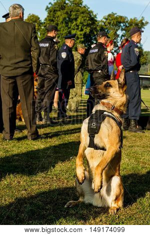 Mukachevo Ukraine - September 27. 2016: Service dog at the time of the First National Police Championship in Ukraine with all-around dog handlers.