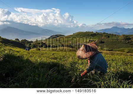 FULI, TAIWAN - JUNE 23, 2016: Farmers work on the daylily fields in Taiwan.