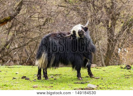Tibetan Yak in the meadow. nature in tibet